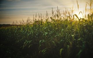 A corn fielf - used to produce biogas